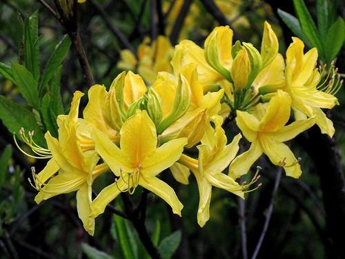 Желтый Олеандр: виды олеандра