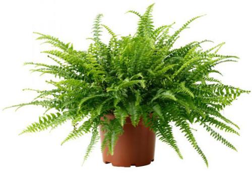 10 самых тенелюбивых комнатных растений: нефролепис