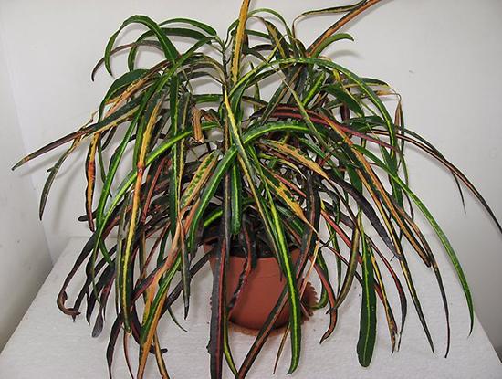 Комнатный цветок кодиеум - виды и фото