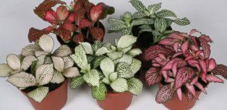 Цветок фиттония уход в домашних условиях