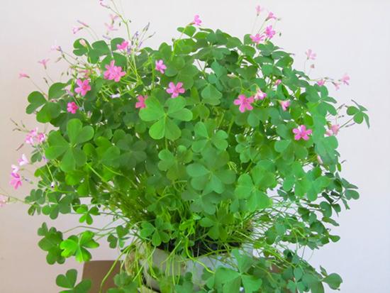 Цветок кислица - как ухаживать в домашних условиях