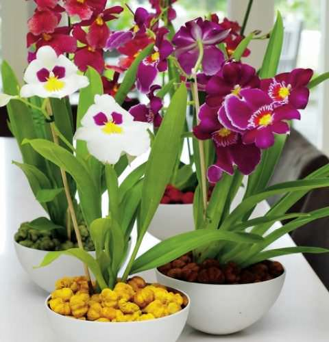 10 самых тенелюбивых комнатных растений: мильтония