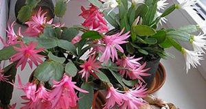 Самые неприхотливые комнатные цветы