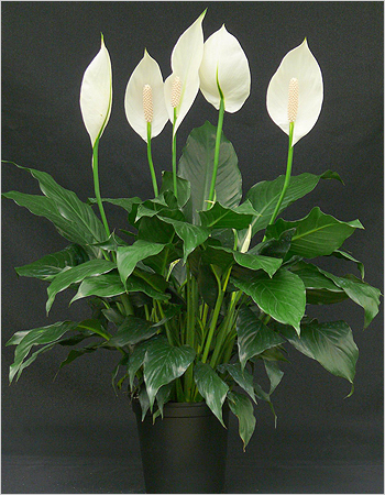Спатифиллум Уоллиса: сорта и виды спатифиллума (фото)