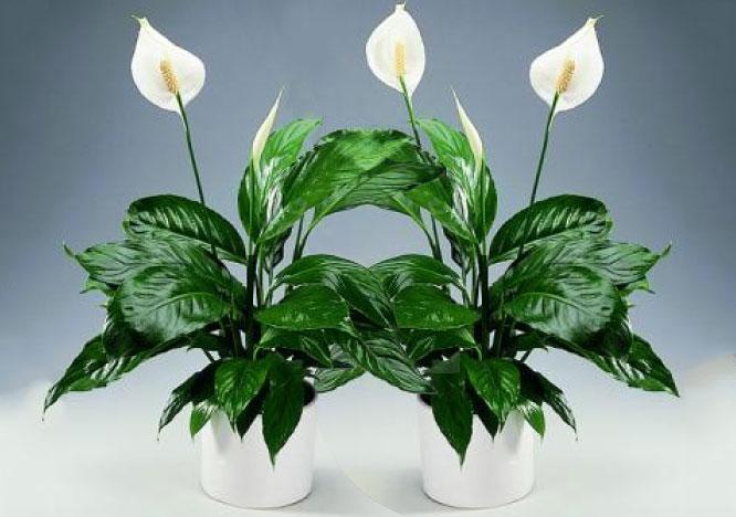 10 самых тенелюбивых комнатных растений: спатифиллум