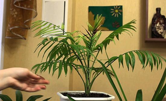 У хамедореи сохнут листья