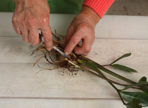 Размножение растения замиокулькас (корневым делением)