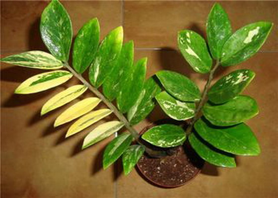 Что делать, если у замиокулькаса желтеют листья