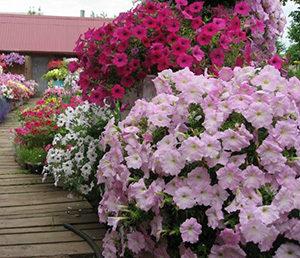 Петуния: фото цветов с названиями