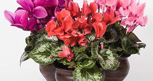 Цикламены: выращивание и уход в домашних условиях