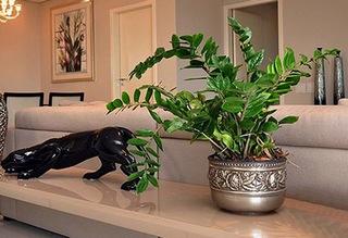 Замиокулькас - цветок безбрачия (приметы). Болезни и вредители растения