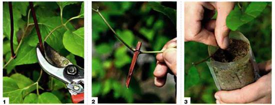 Как размножить клематис черенками
