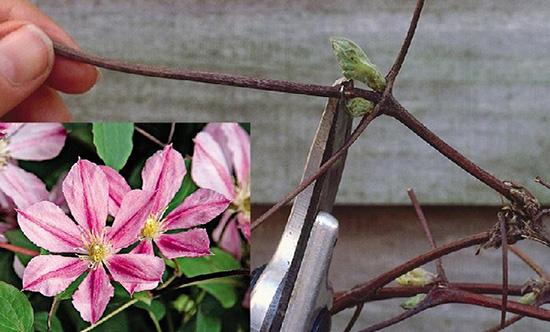 Уход за цветами клематиса осенью