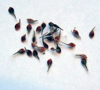 Выращивание цветов клематиса из семян