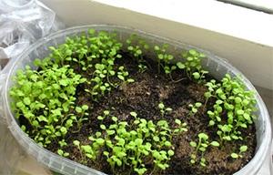Выращивание петунии из рассады
