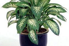 Растение аглаонема - виды и уход в домашних условиях