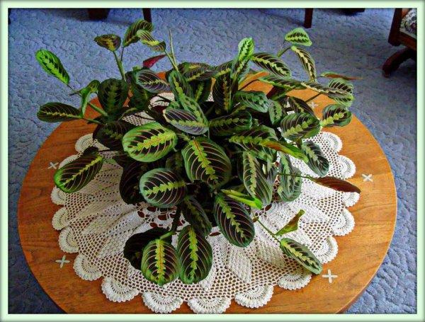 Как правильно выращивать маранту беложильчатую»