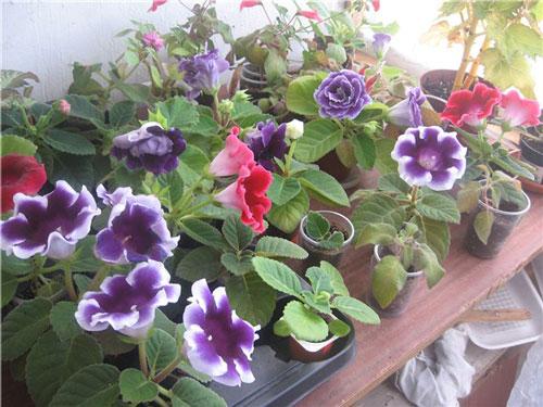 Как ухаживать за цветами глоксинии в домашних условиях?
