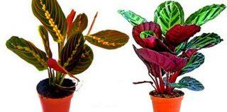 Маранта: уход в домашних условиях (фото цветов)