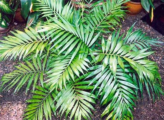 Какие виды филодендрона можно держать дома