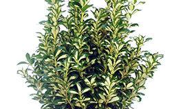 Растение бересклет: посадка и уход