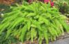 Как ухаживать за аспарагусом в домашних условиях, и способы размножения цветка?