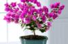 Что следует знать о бугенвиллии: фото цветка и как за ним ухаживать?