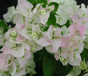 Почему не цветет и сохнет Бугенвиллия