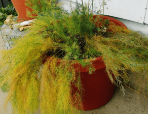 Болезни – почему желтеет и осыпается растение