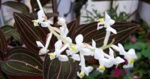 Неприхотливая лудизия: уход за драгоценной орхидеей и особенности размножения