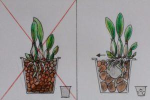 Какие правильные условия выращивания дома
