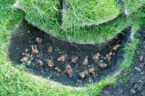 Каким образом происходит посадка и размножение растения?