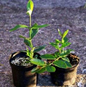 Как выращивать фейхоа в домашних условиях