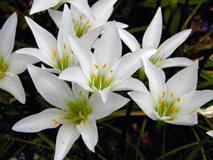 Посадка, пересадка и уход в домашних условиях за цветком Зефирантес