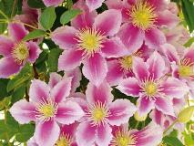 Размножение клематиса и болезни цветов (причины заболеваний)