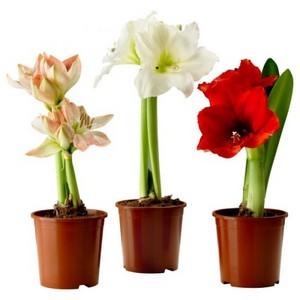 Цветок Амариллис: уход и выращивание в домашних условиях, цветение, посадка и размножение