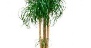 Цветок Нолина: уход в домашних условиях, виды, уход и полезные свойства, размножение и проблемы при выращивании