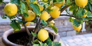 Как порадовать себя домашними лимонами: особенности ухода и размножения лимонного дерева