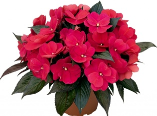 Бальзамин или Ванька мокрый: как ухаживать за цветком и какие суеверия его окружают?