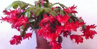 Когда декабрист порадует своим цветением, и что для этого нужно?