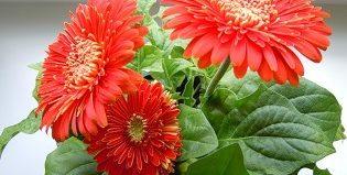 Украшаем дом комнатой герберой: особенности ухода за цветком