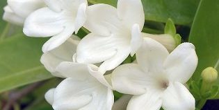 Стефанотис флорибунда: как вырастить мадагаскарский жасмин в домашних условиях