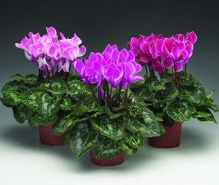 Когда цикломения будет радовать цветением: особенности ухода за цветком и его размножение?