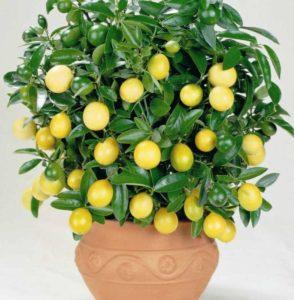 Описание домашнего лимона