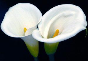 Почему каллу называют цветком смерти
