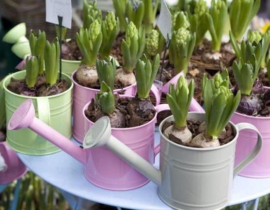 Как правильно выращивать гиацинты дома