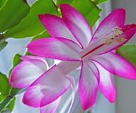 Комнатный цветок декабрист: уход, пересадка и размножение в домашних условиях