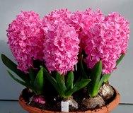 Гиацинты: посадка и уход в домашних условиях, что делать после цветения, как пересадить растение