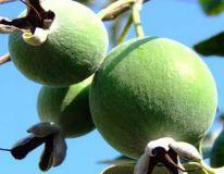 Польза и вред фейхоа, как выращивать растение дома, особенности роста