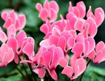Уход, размножение и пересадка цветка цикломения